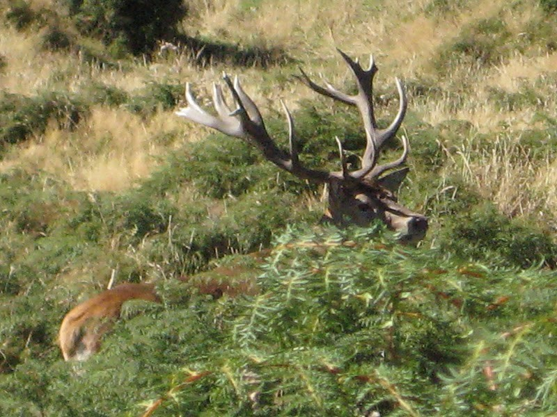 Hunting Red Stag